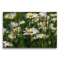 Premium Textil-Leinwand 75 x 50 cm Quer-Format Blumenfreude Schweizer Kalendarium | Wandbild, HD-Bild auf Keilrahmen, Fertigbild auf hochwertigem Vlies, Leinwanddruck von Avianaarts Design Fotografie by Tanja Riedel
