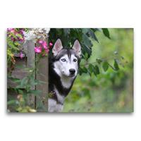 Premium Textil-Leinwand 75 x 50 cm Quer-Format Siberian Husky | Wandbild, HD-Bild auf Keilrahmen, Fertigbild auf hochwertigem Vlies, Leinwanddruck von Barbara Mielewczyk